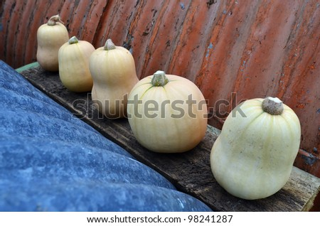 Rustic autumn still life with mini pumpkins on old wood in the garden.