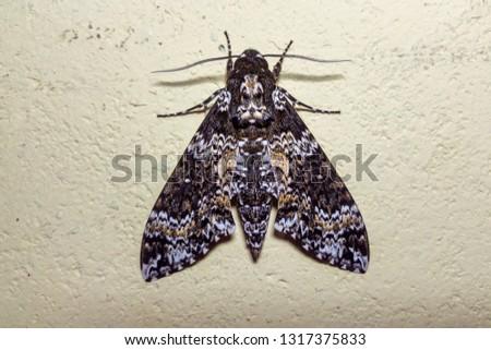 Rustic Sphinx Moth photographed  in Santa Maria de Jetiba, Espirito Santo - Southeast of Brazil. Atlantic Forest Biome. Picture made in 2016.
