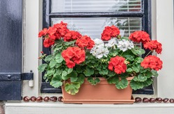 Rustic vintage arrangement with flowers on the outside window sill. Red and white pelargoniums in a rural front garden. Autumn and winter floral decor.