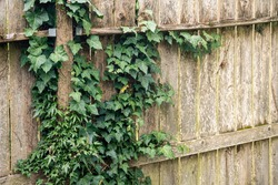 Rustic Wooden Fence Covered in Green Ivy