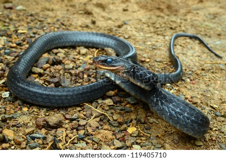 Rusty whipsnake (Chironius scurrulus)