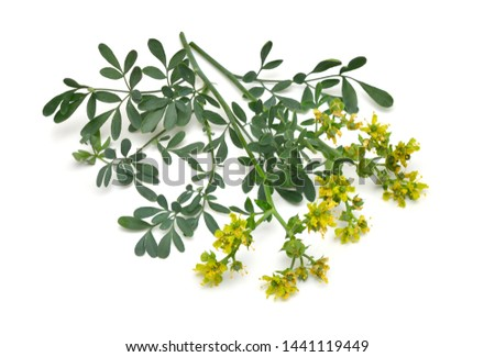 Ruta commonly known as rue Ruta graveolens rue or common rue. Isolated on white background. Photo stock ©