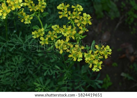 Ruta commonly known as rue Ruta graveolens rue or common rue. Yellow flowers of Ruta graveolens (common rue or herb of grace) in summer garden. The cultivation of medicinal plants in the garden. Photo stock ©