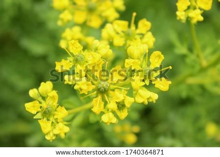 ruta graveolens, close up, yellow Foto stock ©