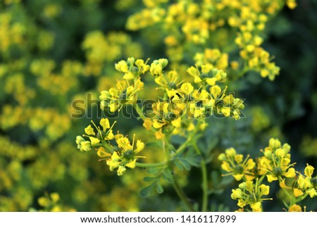Ruta graveolens, commonly known as the, common rue or herb-of-grace, is a species of Ruta grown as an ornamental plant and herb. It is also cultivated as a medicinal herb, as a condiment.  Foto stock ©