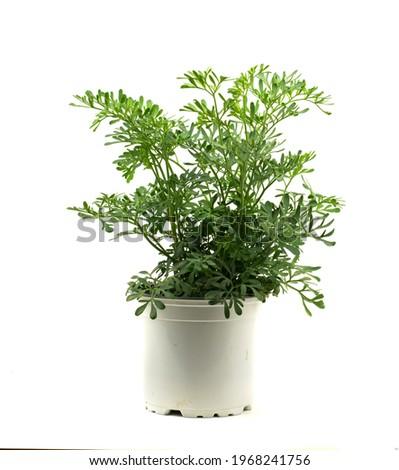 ruta graveolens in pot with white background Foto stock ©