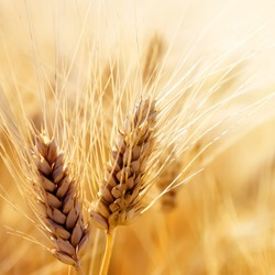 Rye: a species of Grass Family also known as cereal rye, cultivated annual rye, cultivated rye, ryecorn, it's botanical name is Secale cereale.