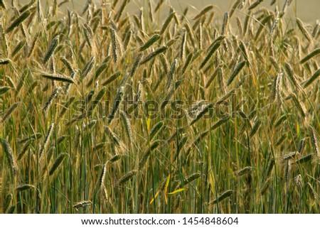 rye ears and rye field in summer #1454848604
