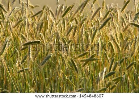 rye ears and rye field in summer #1454848607
