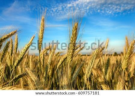 Rye field, Belarus. #609757181