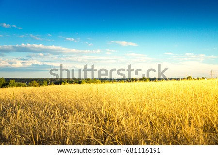 Rye field on sunset against blue sky. Agricultural background with ripe spikelets of rye. #681116191