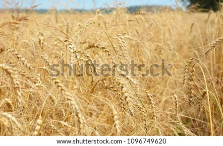 Rye grain harvest on rye field landscape  #1096749620