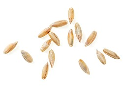 Rye grains isolated on a white background, top view. Macro.