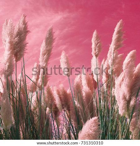Rye on the pink sky Design color art minimal #731310310