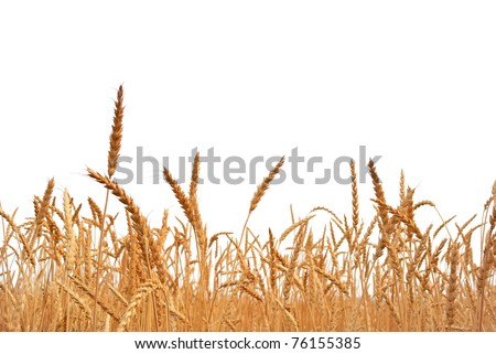 Rye. Rye on a white background. Harvest.