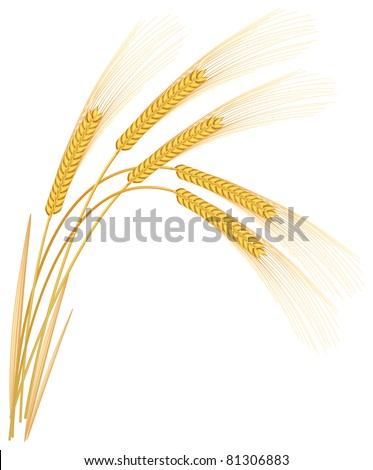 Rye spikelets on a white background.  Raster version.