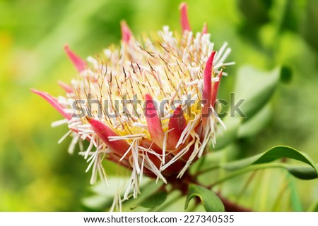 African Plant Names s African Plant Protea