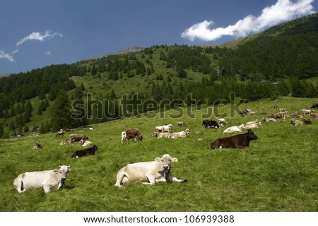 S.Apollonia,Valle delle Messi,Pontedilegno (Bs),Italy, some dairy cows grazing