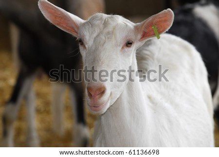 saanan dairy goat doe in the barn