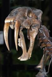 Saber Tooth Cat skull. Prehistoric animal skull . Saber tooth Tiger