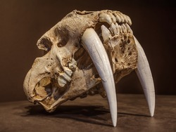 Saber tooth tiger skull, with long white front teeth.