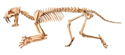 Saber - toothed tiger ( Hoplophoneus primaevus ) skeleton . Isolated background .