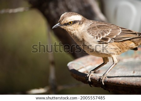 Sabiá do campo. The sabiá-do-campo is a passerine bird of the Mimidae family. Foto stock ©