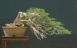 sabina juniper bonsai
