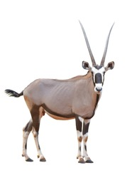 Sable antelope africa safari animal standing looking to camera isolated on white background. This has clipping path.