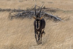 Sable antelope in the high grass on a sunny day, Namibia