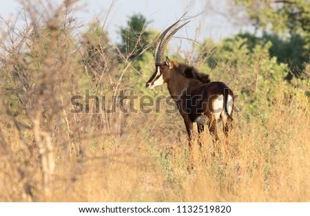Sable Antelope in the Linyanti area, Botswana