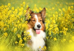 Sable border collie in yellow flowers