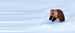 Sable foraging in the snow in winter