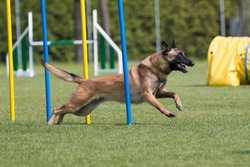 Sable with black mask working Belgian shepherd malinua dog doing agility slalom pools on dog agility course competition. Fast and furious malinois running fast speed on outside grass field
