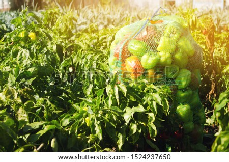 Sacks of fresh bell pepper in the field. Eco-friendly products. Agriculture and farming. Harvest. Harvesting. Freshly harvested. Selective focus