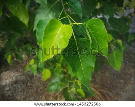 Sacred fig leaf, bodhi leaf, pippala leaf, peepul leaf. #1453272506