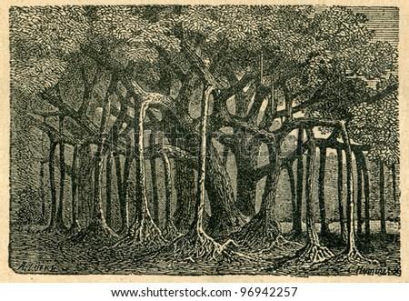 Sacred figs - old illustration by A.Lutke from Podrecznik do nauki Botaniki, authors M.Arctowna and W Grzegorzewska, editor M.Arcta, Warsaw, 1907