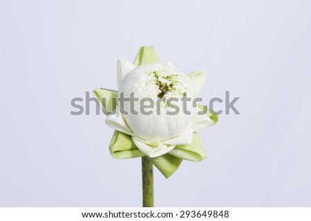 Sacred lotus. #293649848