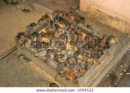 Sacred rats eating grain