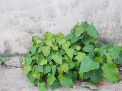 Sacred tree, Sacred fig, (Ficusigiousiosa Linn) grows on the ground beside gray plaster walls with long. Heart-shaped leaves. Native to India. It is an auspicious tree that is planted in temples.