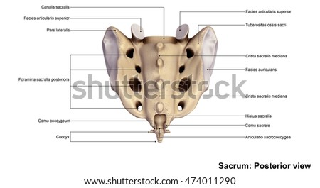 Sacrum Posterior view 3d illustration
