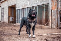 Sad aggressive shelter stray shepherd dog guard on metal chain