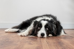 sad and worried dog lying on a wood floor
