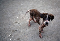 sad animal close up - young brown dog, with huge black sad eyes and skin problem, standing on a pavement, outside on a sunny day in Philippines, Asia