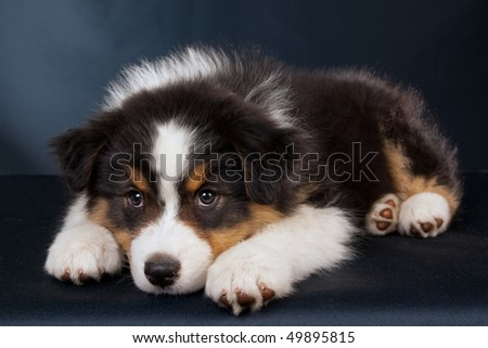 Australian Shepherd Puppies on Sad Australian Shepherd Puppy On Black Background Stock Photo 49895815