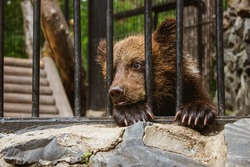 Sad bear cub in animal cage. Wild bear stuck nose through animal cage bars, wants to bee free. Carpathian bear captivity in animal zoo behind cage bars. Portrait brown bear in circus cage for animal.