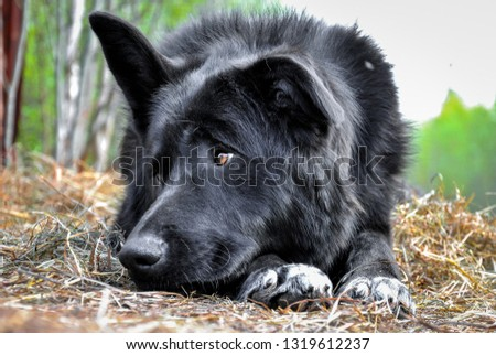 sad big black and white dog resting at sunny summer sandy beach. Closeup profile portrait of animal. Horizontal color photography #1319612237