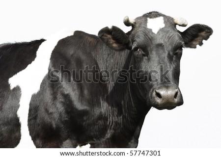 Sad black cow over gray background