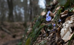 Sad blue beautiful flowers growing from the cold moody dirt with leaves covering it. Autumn forest life landscape. Grey moody forest. Leaves lying on the ground with blue flowers.