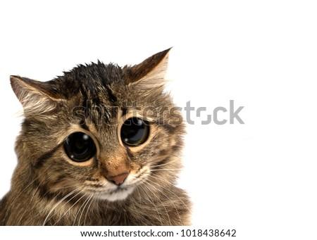 sad cat with big eyes isolated on white background
